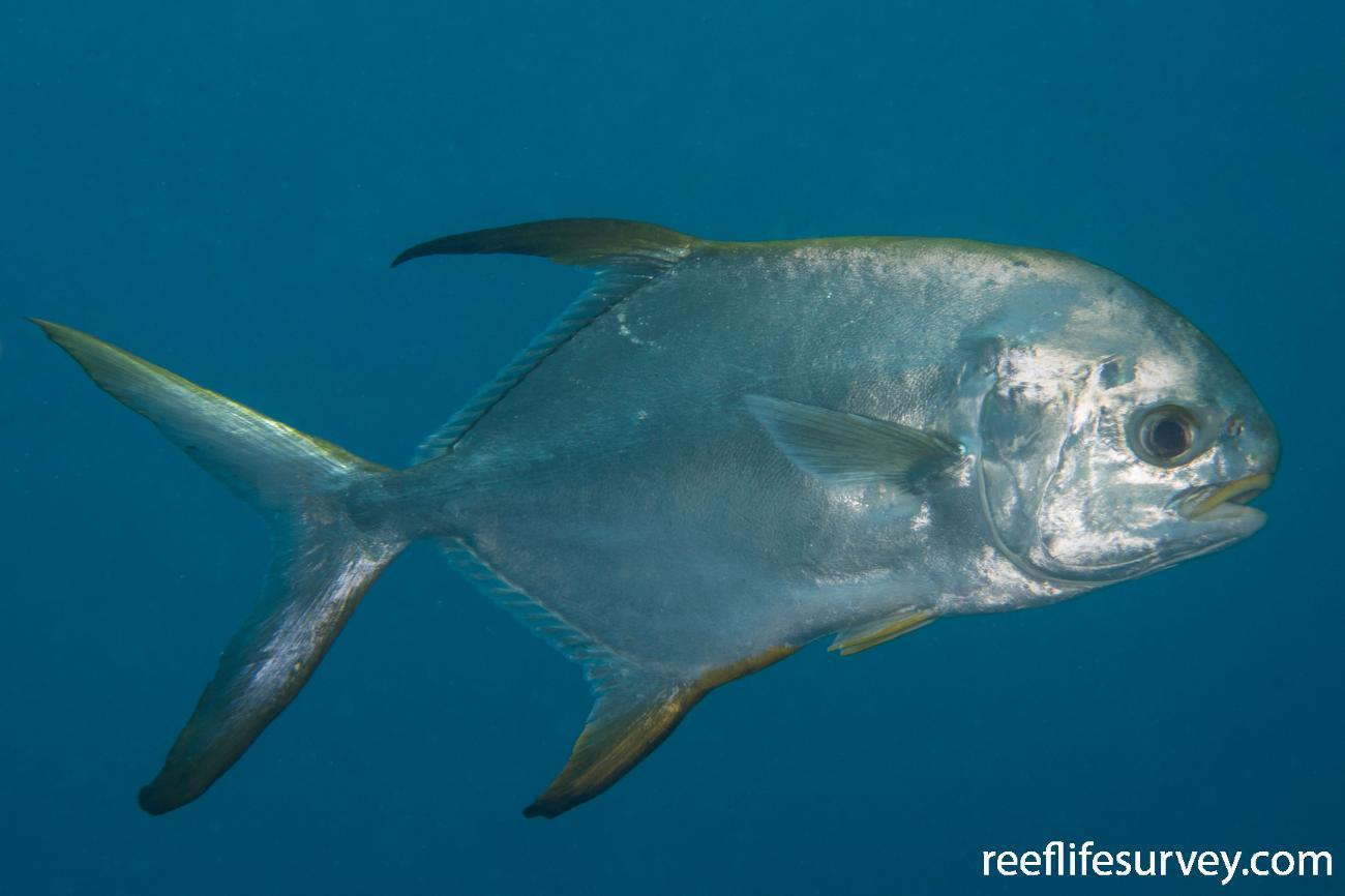 Trachinotus blochii, QLD, Australia,  Photo: Rick Stuart-Smith
