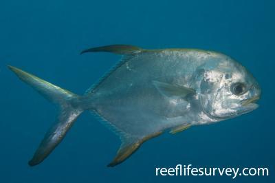Trachinotus blochii: QLD, Australia,  Photo: Rick Stuart-Smith