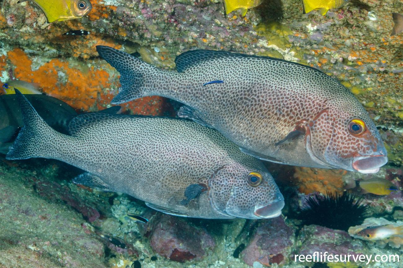 Plectorhinchus picus, Adult, NSW, Australia,  Photo: Ian Shaw