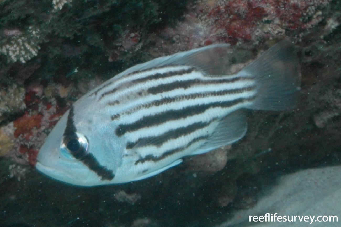 Glaucosoma hebraicum, Juvenile, Jurien Bay, WA.