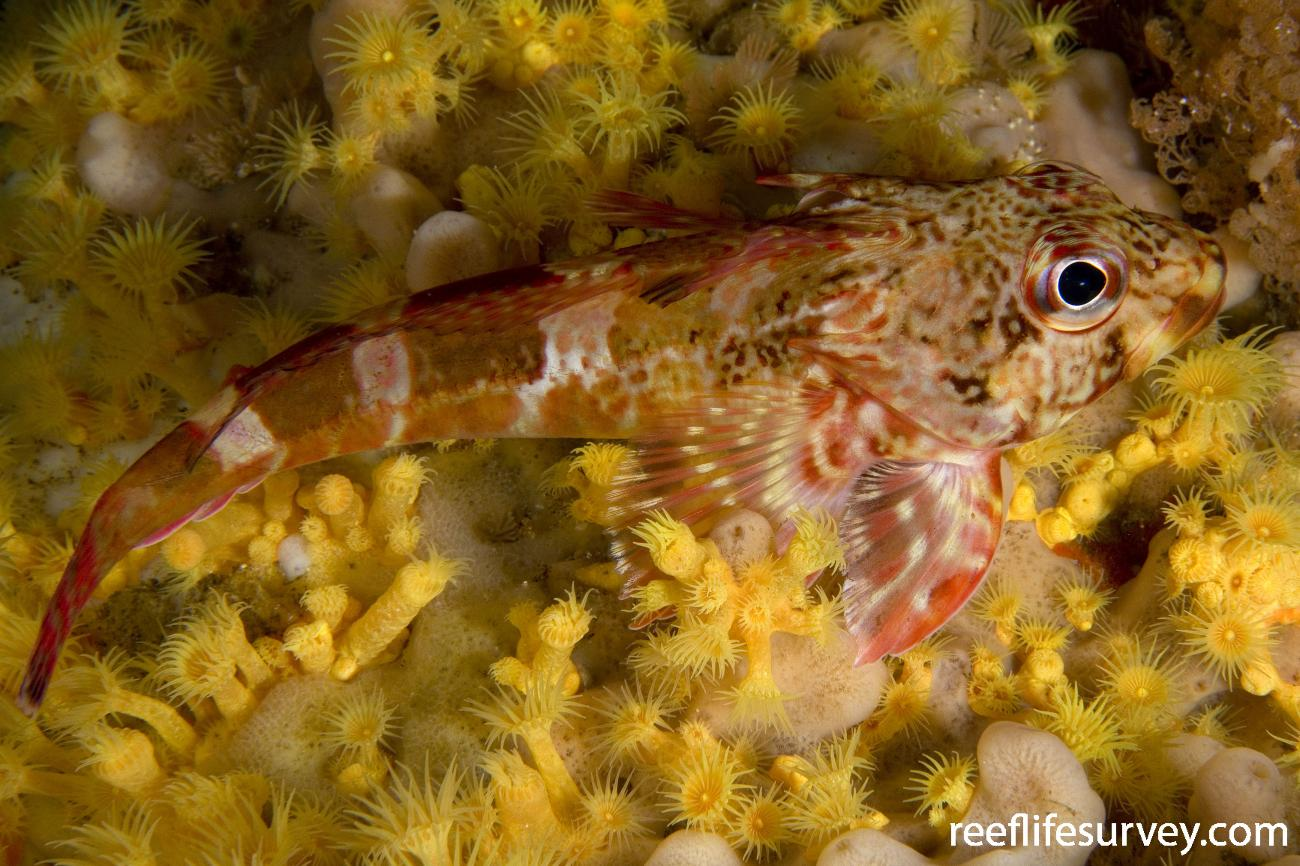Bovichtus angustifrons, Hobart, TAS,  Photo: Andrew Green