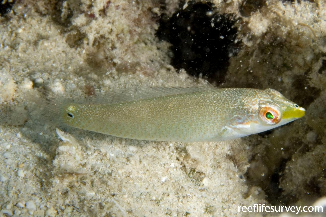 Halichoeres trimaculatus, Juvenile, Lord Howe Is, NSW,  Photo: Andrew Green