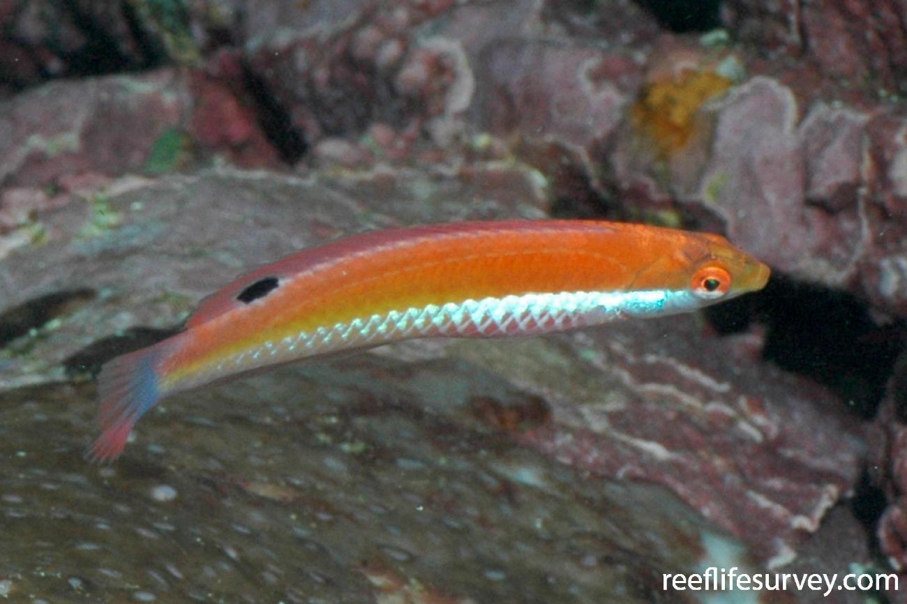 Suezichthys aylingi, NSW, Australia,  Photo: Rick Stuart-Smith