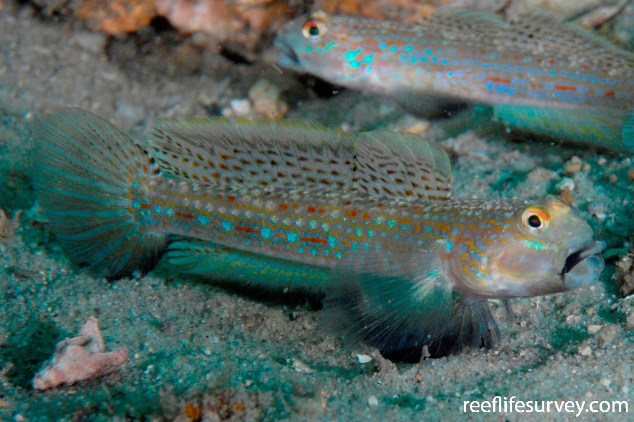 Istigobius hoesei, Port Stephens, NSW,  Photo: Tom Davis