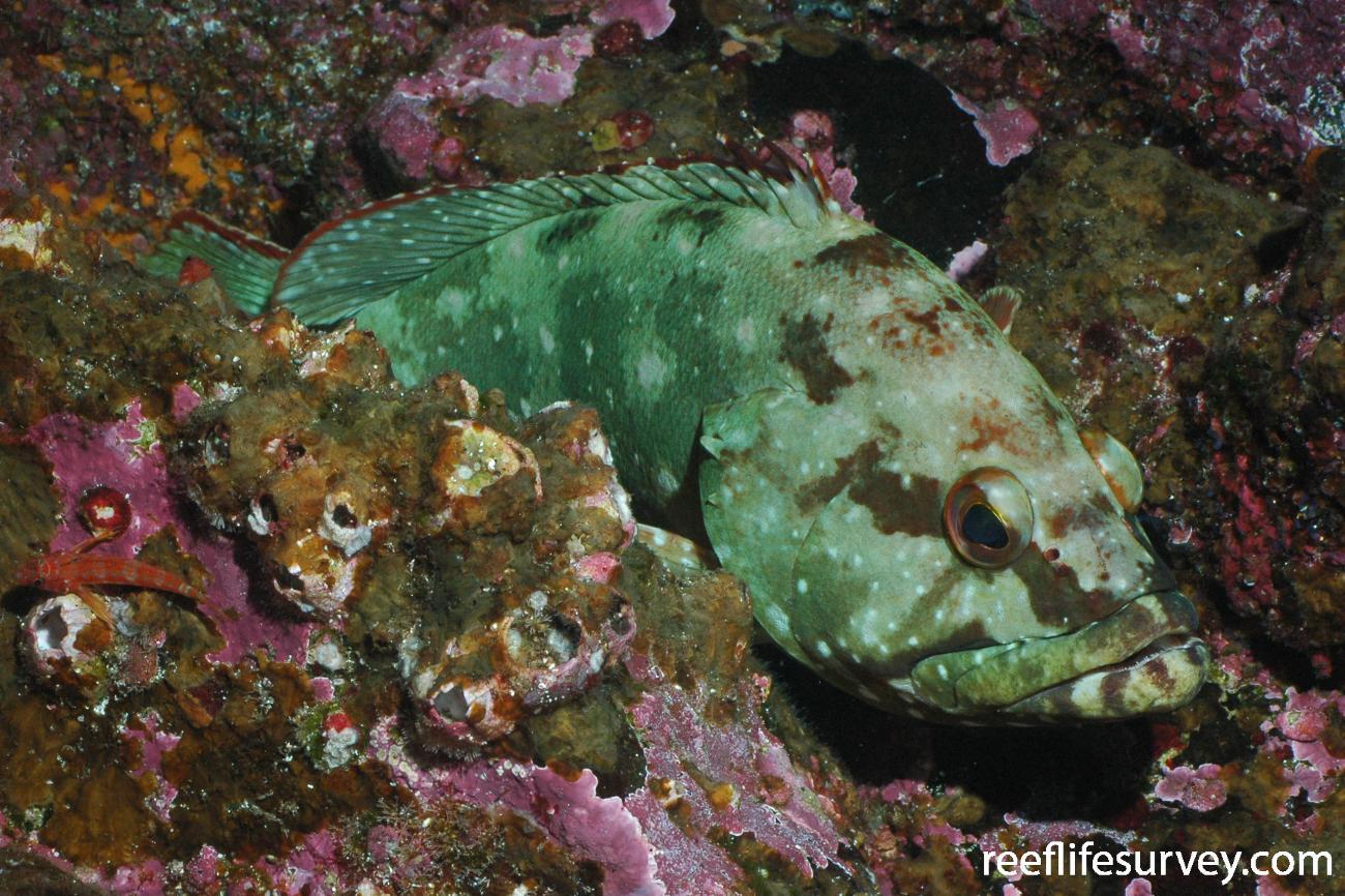 Epinephelus labriformis, Galapagos Islands, Ecuador,  Photo: Graham Edgar