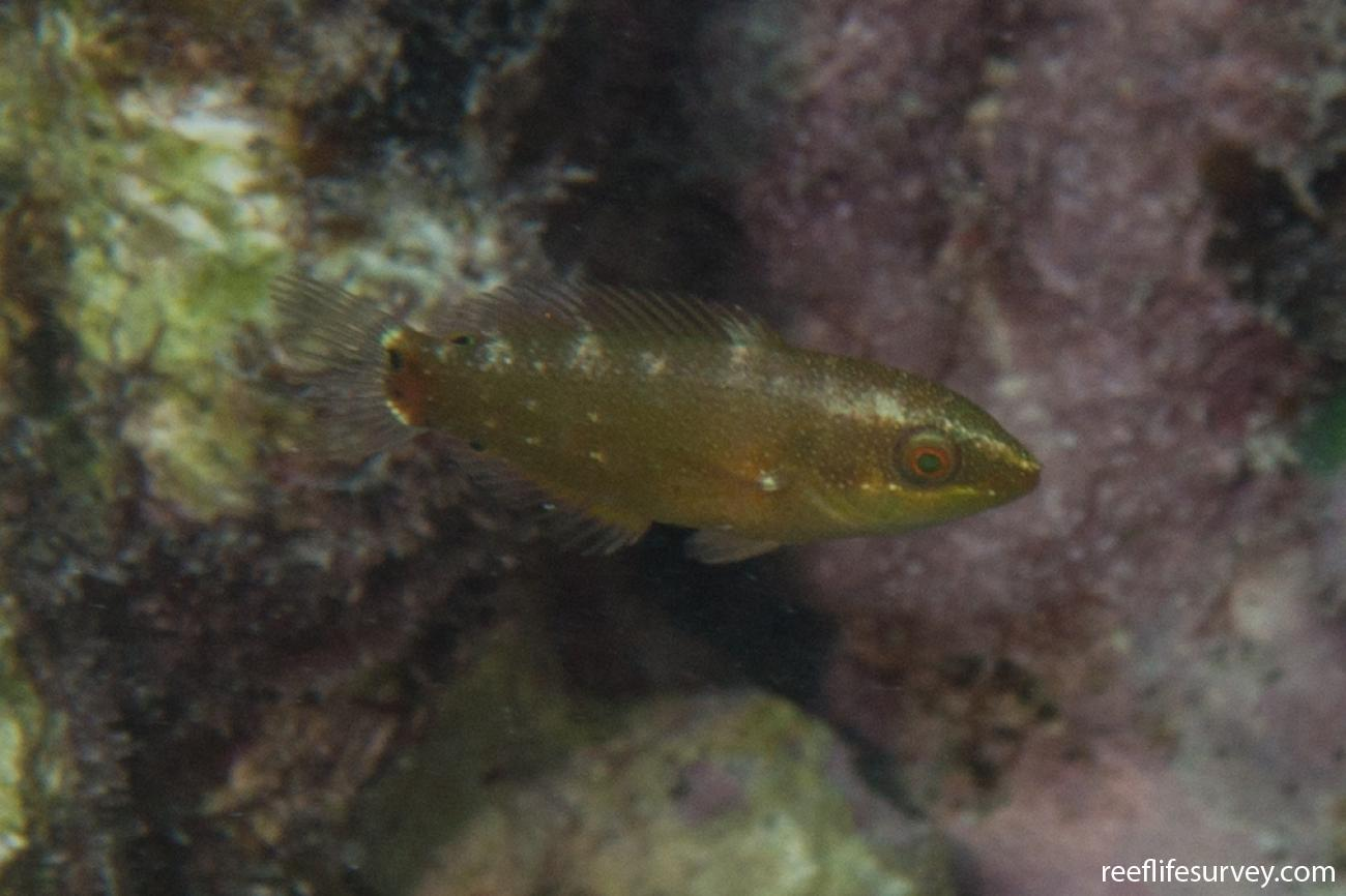 Stethojulis bandanensis, Juvenile, WA, Australia,  Photo: Rick Stuart-Smith