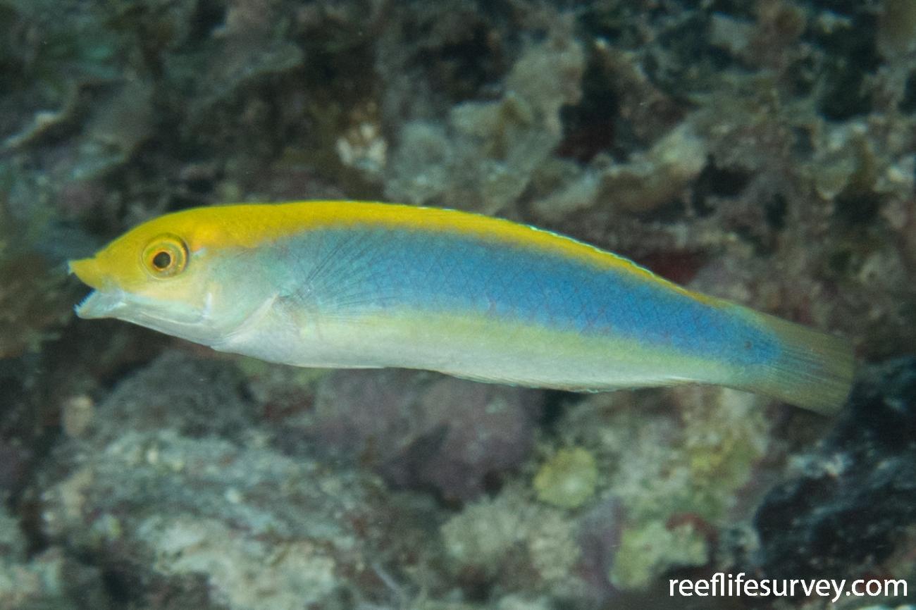Halichoeres cyanocephalus, Belize,  Photo: Rick Stuart-Smith