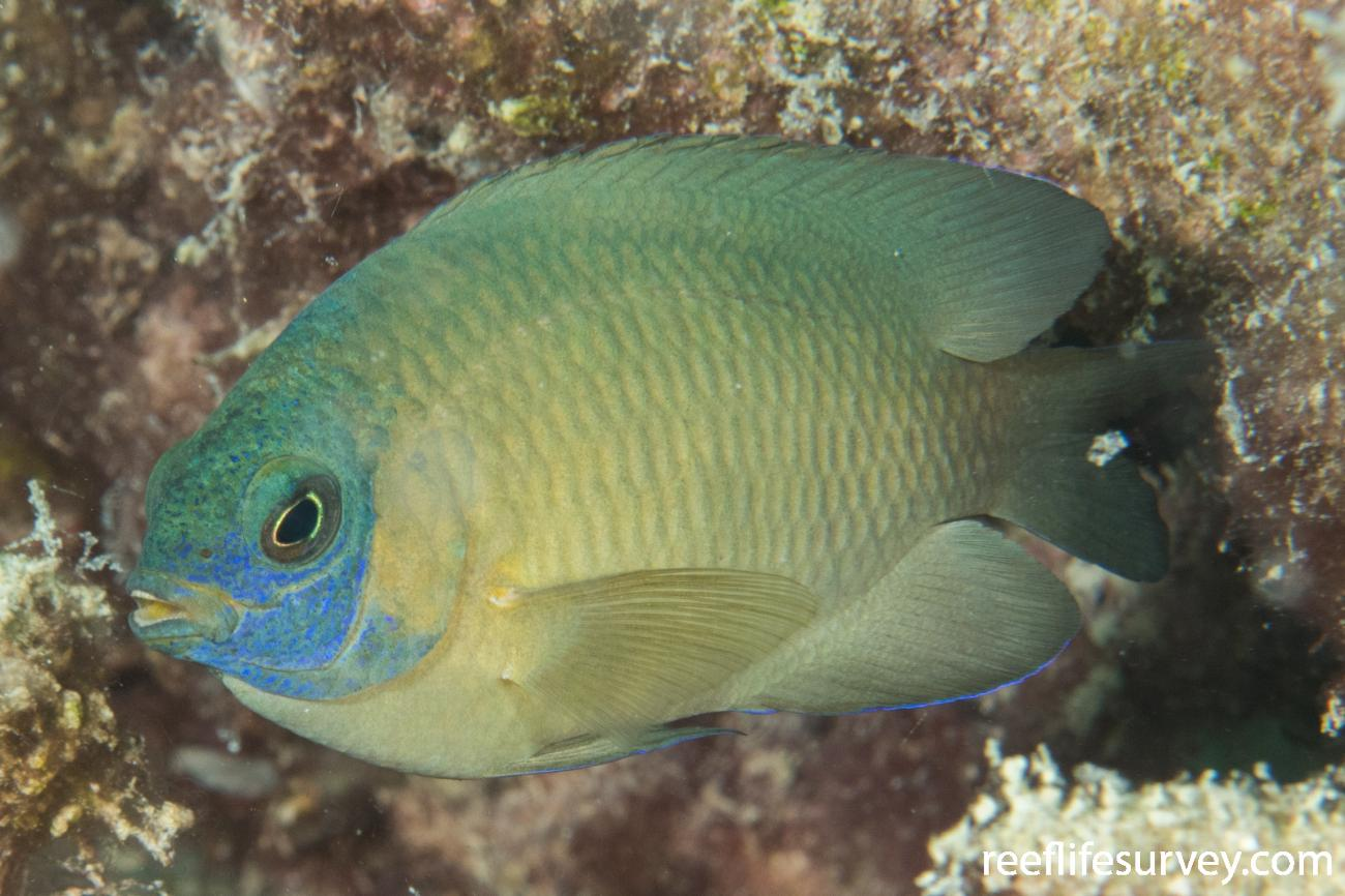 Pomacentrus wardi, Unusual blue face. QLD, Australia,  Photo: Rick Stuart-Smith