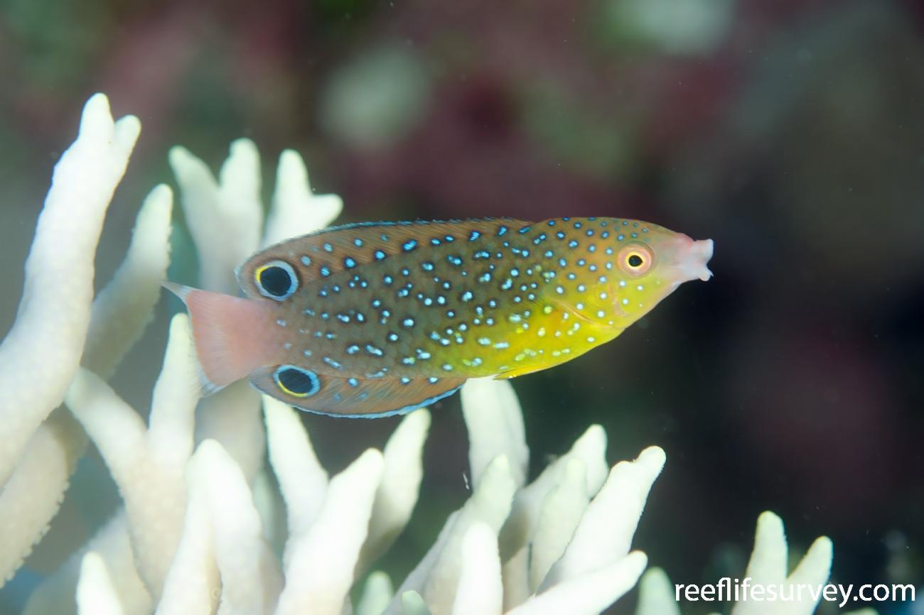 Anampses twistii, Juvenile, Coral Sea,  Photo: Ian Shaw