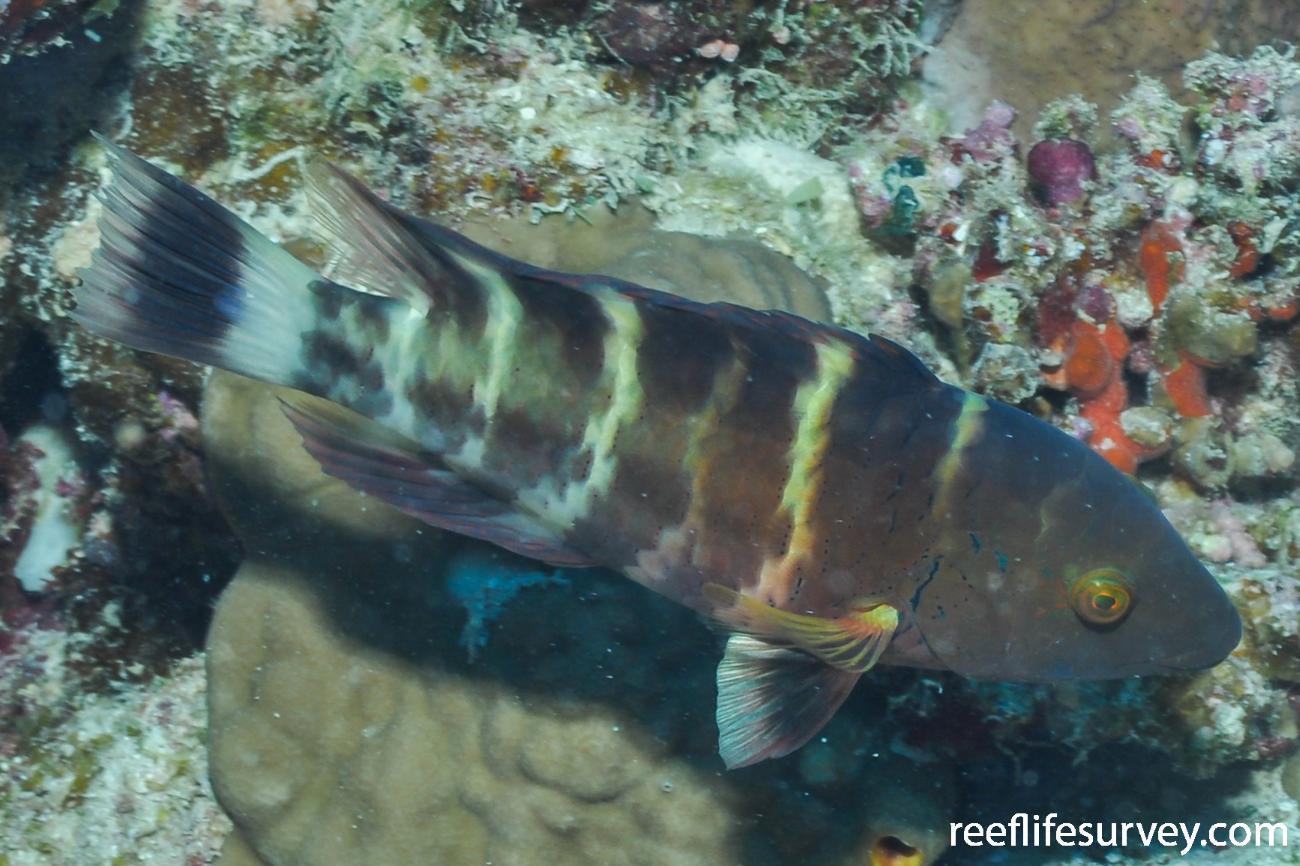 Cheilinus fasciatus, Red Sea,  Photo: Rick Stuart-Smith