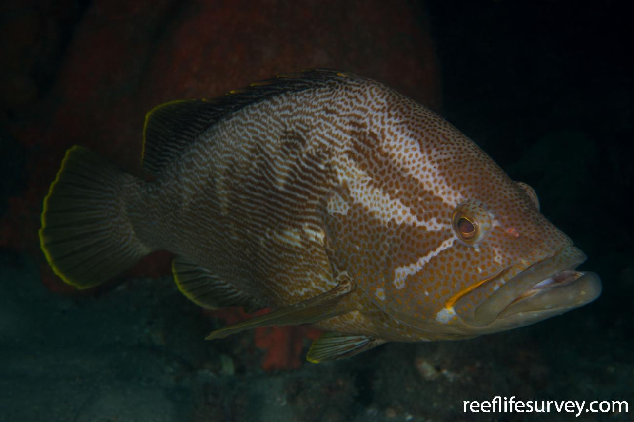 Epinephelus undulatostriatus, Adult.  Photo: Rick Stuart-Smith