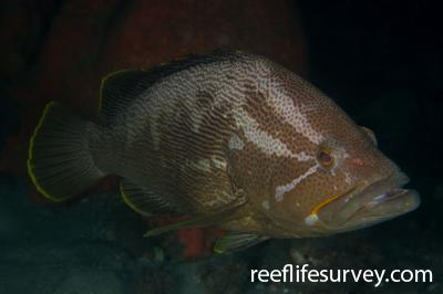 Epinephelus undulatostriatus: Adult.  Photo: Rick Stuart-Smith