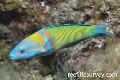 Thalassoma pavo: Male, Canary Islands, Spain,  Photo: Rick Stuart-Smith