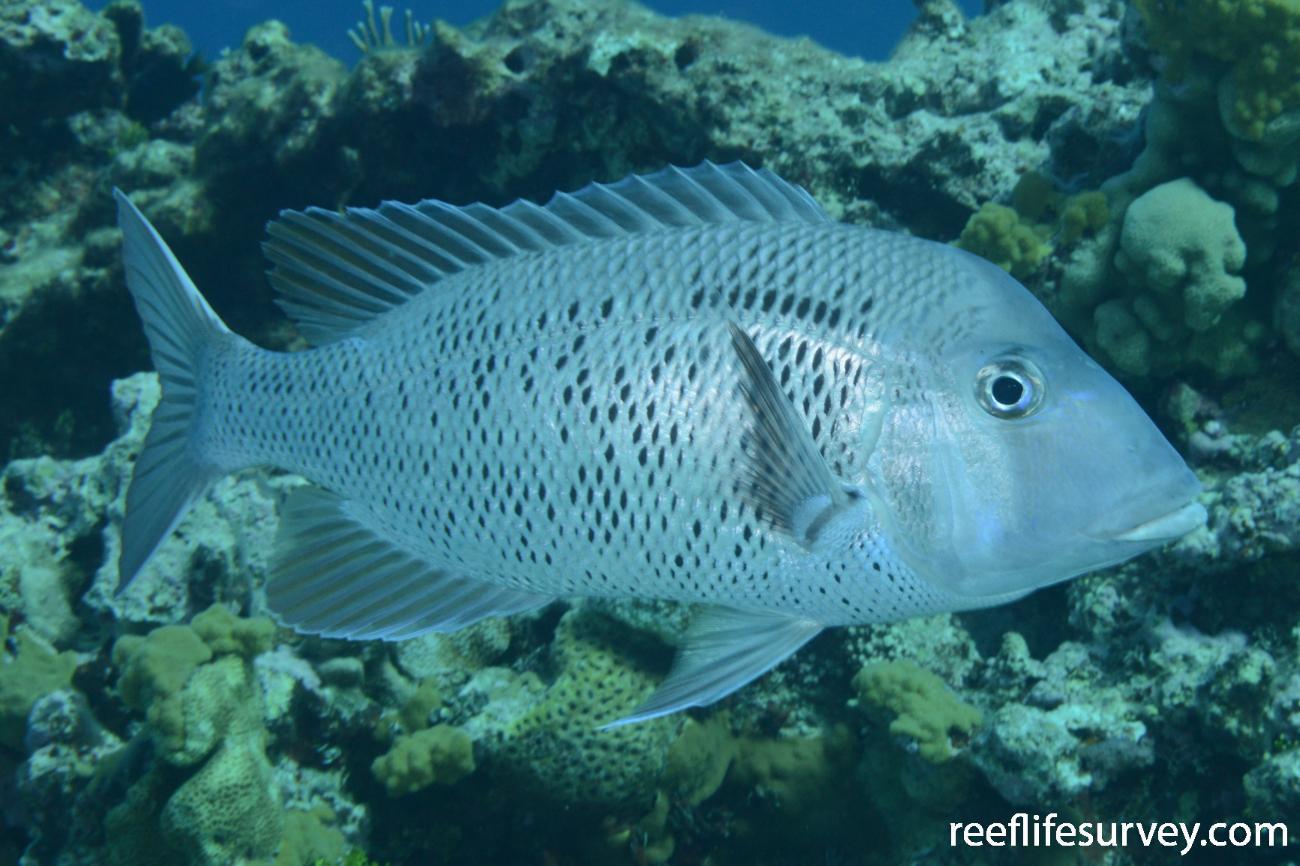 Gymnocranius euanus, Frederick Reef, Coral Sea,  Photo: Graham Edgar