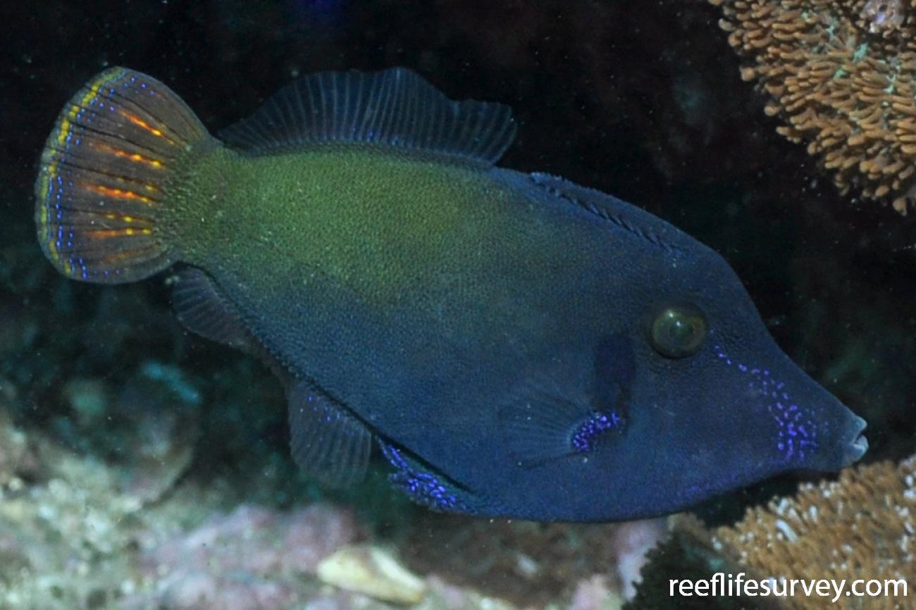 Pervagor janthinosoma, Adult.  Photo: Rick Stuart-Smith
