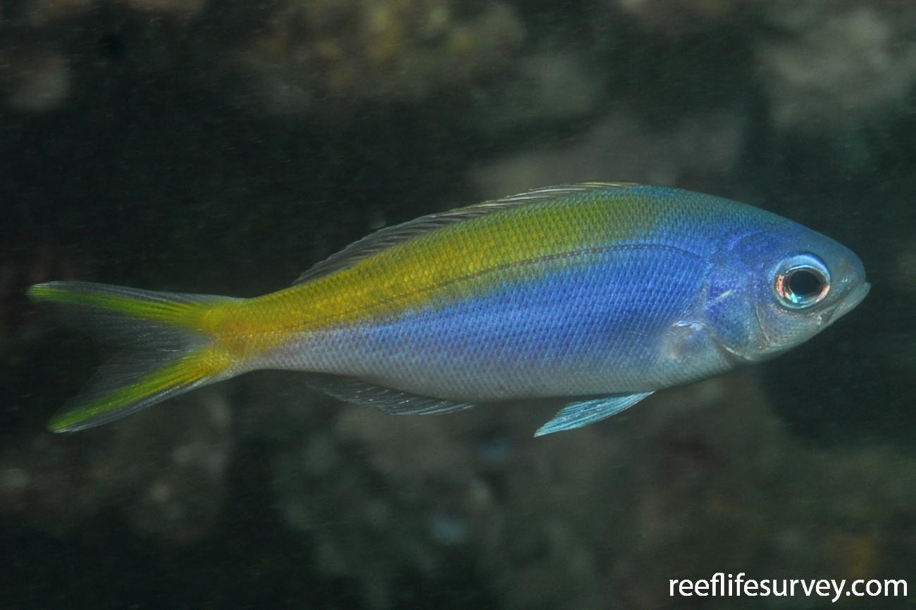 Paracaesio xanthura, Juvenile.  Photo: Rick Stuart-Smith