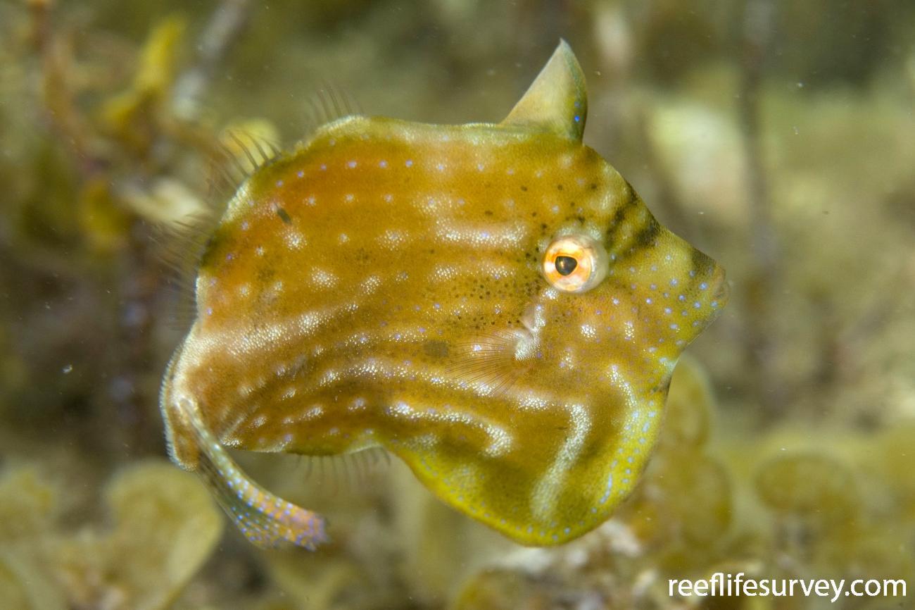 Brachaluteres jacksonianus, Adult, Jervis Bay, NSW,  Photo: Andrew Green