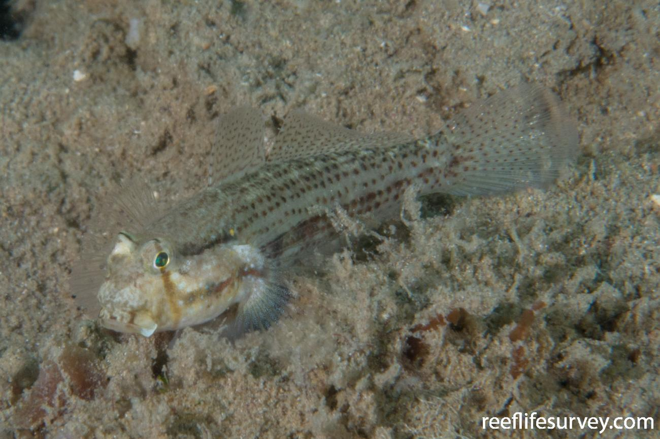Gnatholepis thompsoni, Bocas del Toro, Panama,  Photo: Rick Stuart-Smith