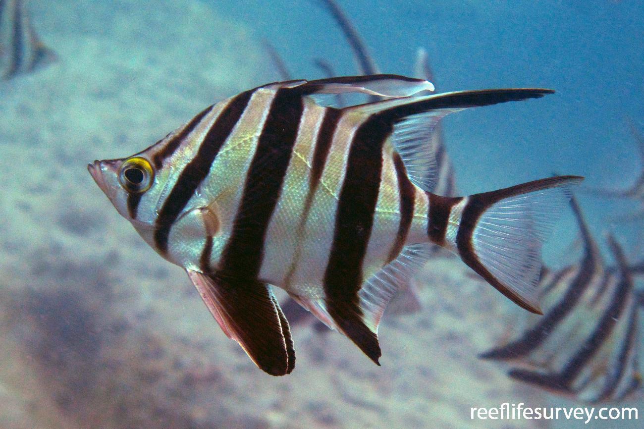 Enoplosus armatus, Adult, Jervis Bay, ACT,  Photo: Antonia Cooper