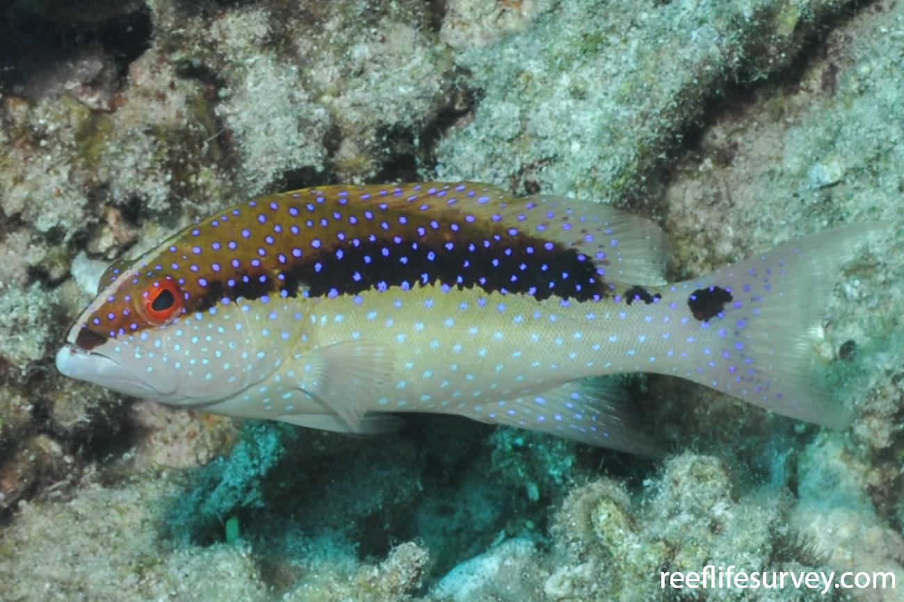 Variola louti, Juvenile, Red Sea,  Photo: Rick Stuart-Smith