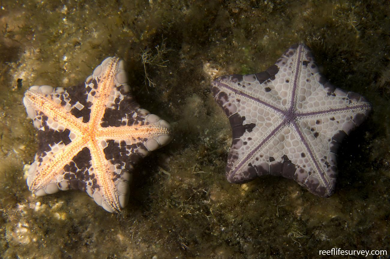 Tosia australis, 2 of 2. Chain of Bays, SA,  Photo: Andrew Green