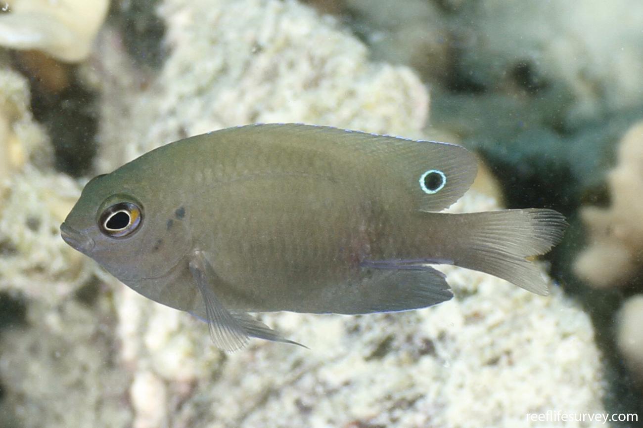 Pomacentrus adelus, Juvenile, Coral Sea, Australia,  Photo: Ian Shaw
