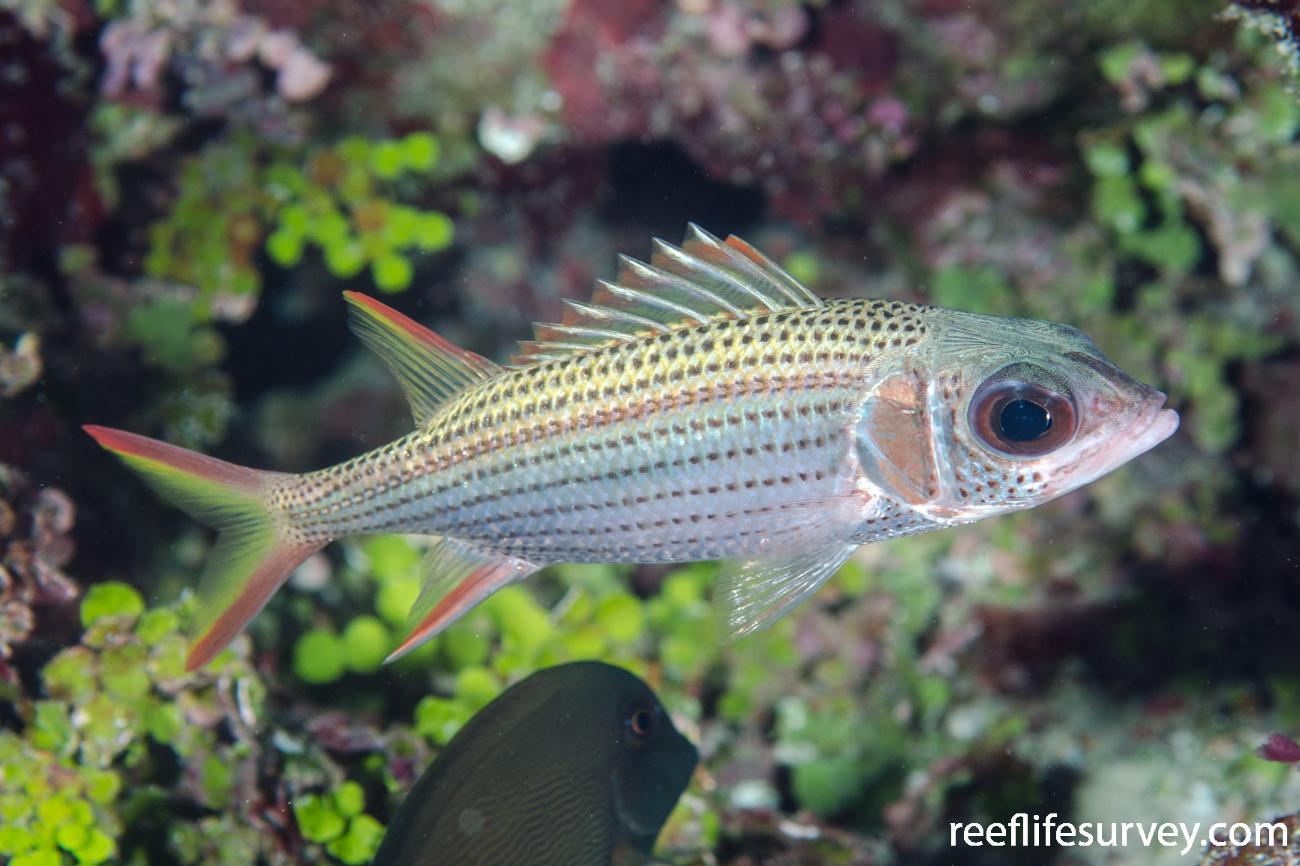 Neoniphon argenteus, Adult, Lihou Reef, Coral Sea,  Photo: Ian Shaw