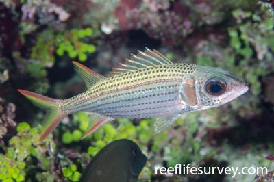 Neoniphon argenteus: Adult, Lihou Reef, Coral Sea,  Photo: Ian Shaw