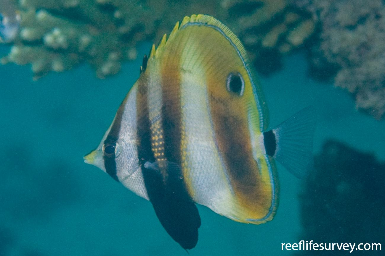 Coradion altivelis, Juvenile, Great Keppel Is, Qld,  Photo: Andrew Green