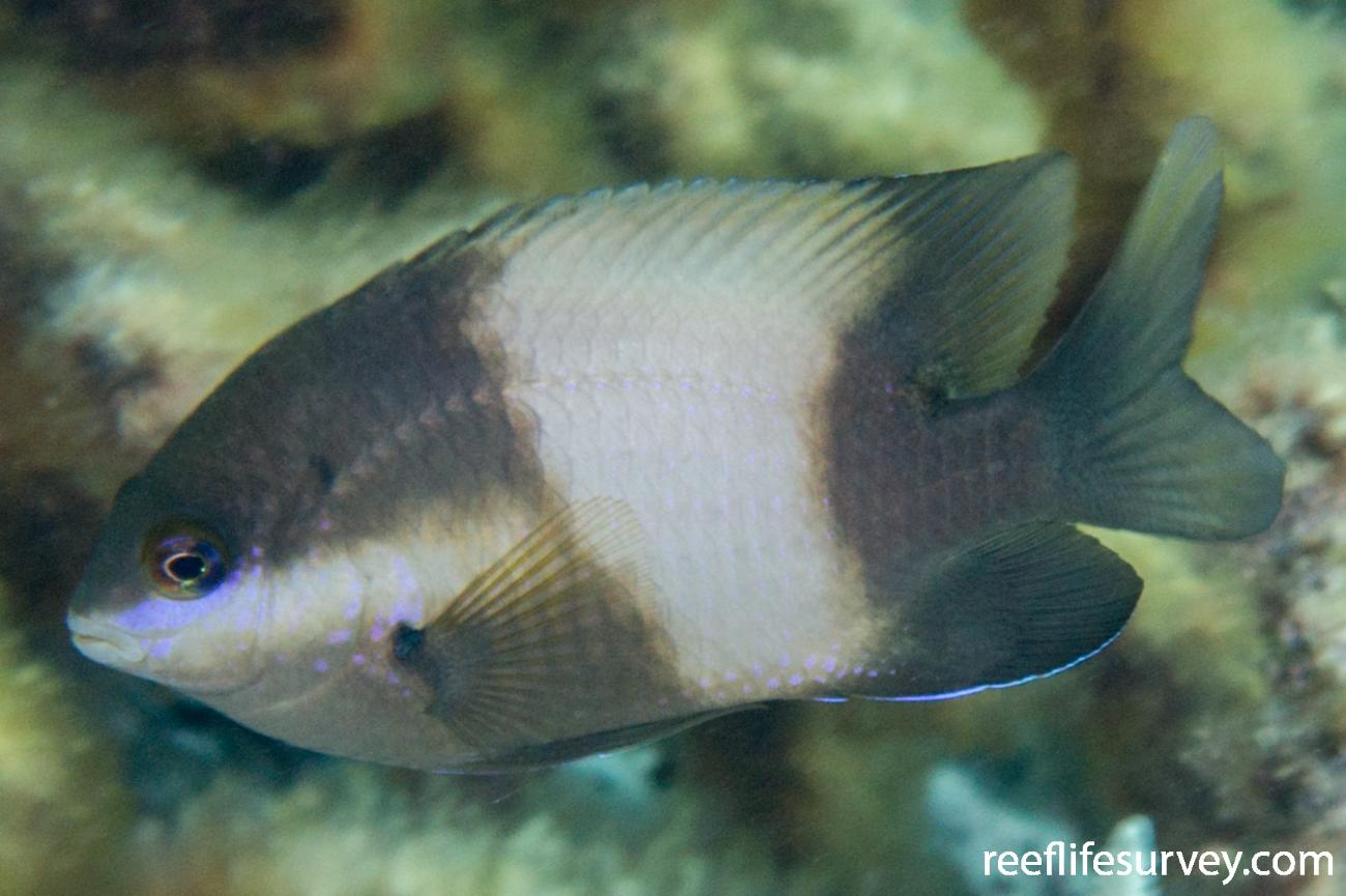 Stegastes nigricans, Adult.  Photo: Rick Stuart-Smith