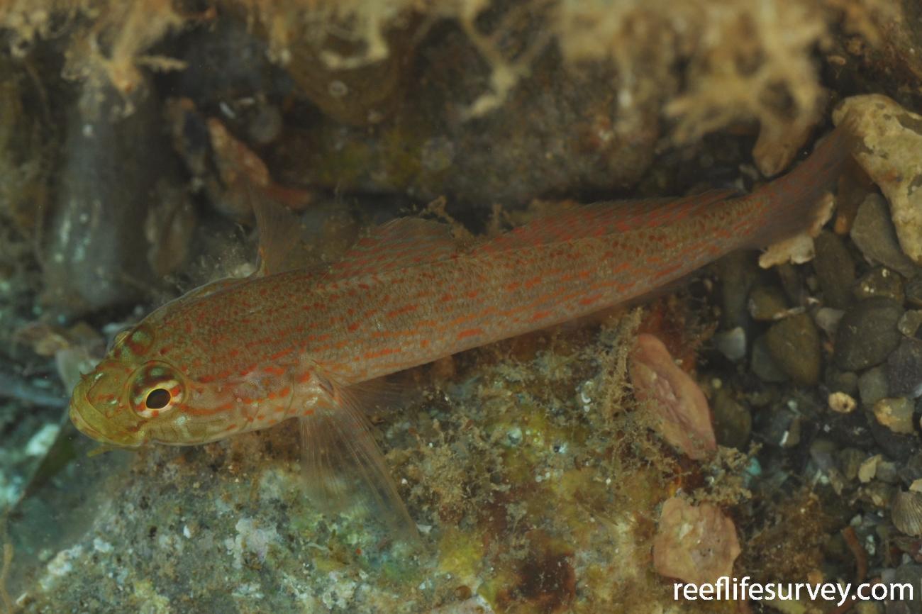 Gobius xanthocephalus, Banyuls-sur-Mer,  Photo: Rick Stuart-Smith