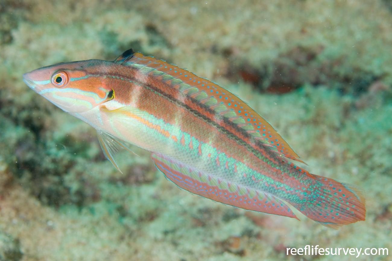 Coris caudimacula, Adult.  Photo: Andrew Green