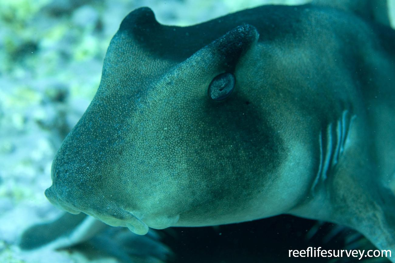 Heterodontus galeatus, Montague Is, NSW,  Photo: Andrew Green
