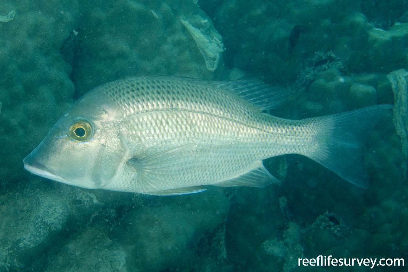 Lethrinus laticaudis, Dugong Is, Great Barrier Reef, QLD,  Photo: Andrew Green