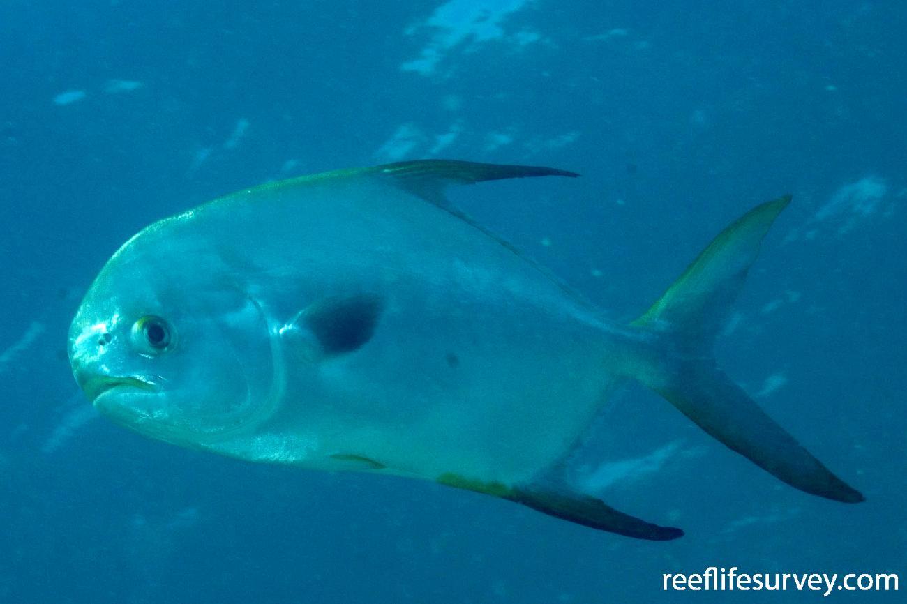Trachinotus blochii, Gulf of Carpentaria, QLD,  Photo: Andrew Green