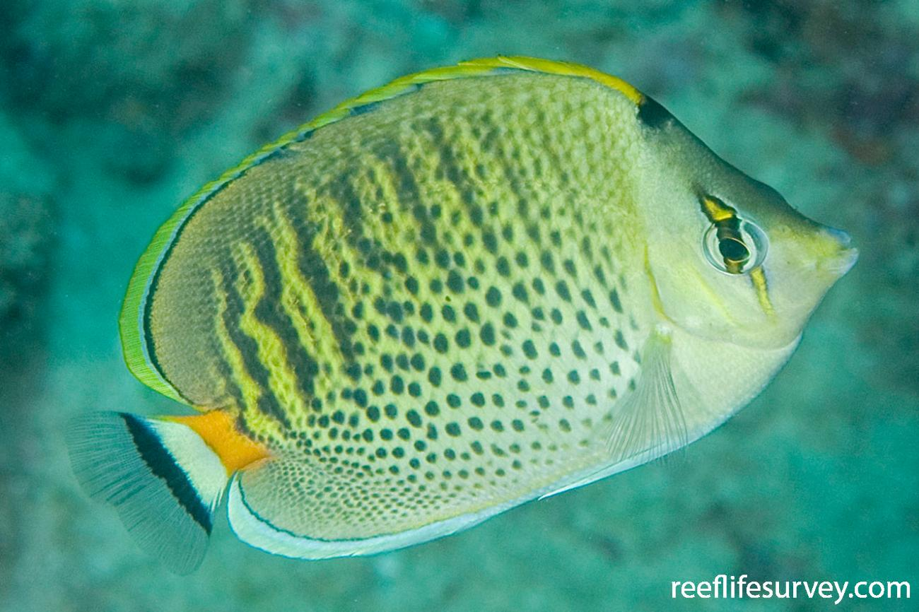 Chaetodon punctatofasciatus, North WA, Australia,  Photo: Andrew Green