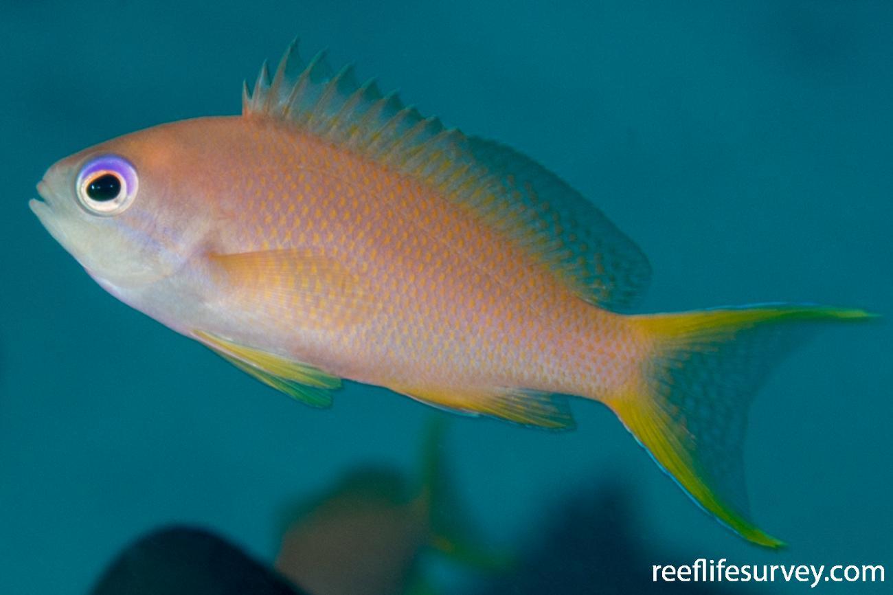 Pseudanthias squamipinnis, Juvenile.  Photo: Rick Stuart-Smith
