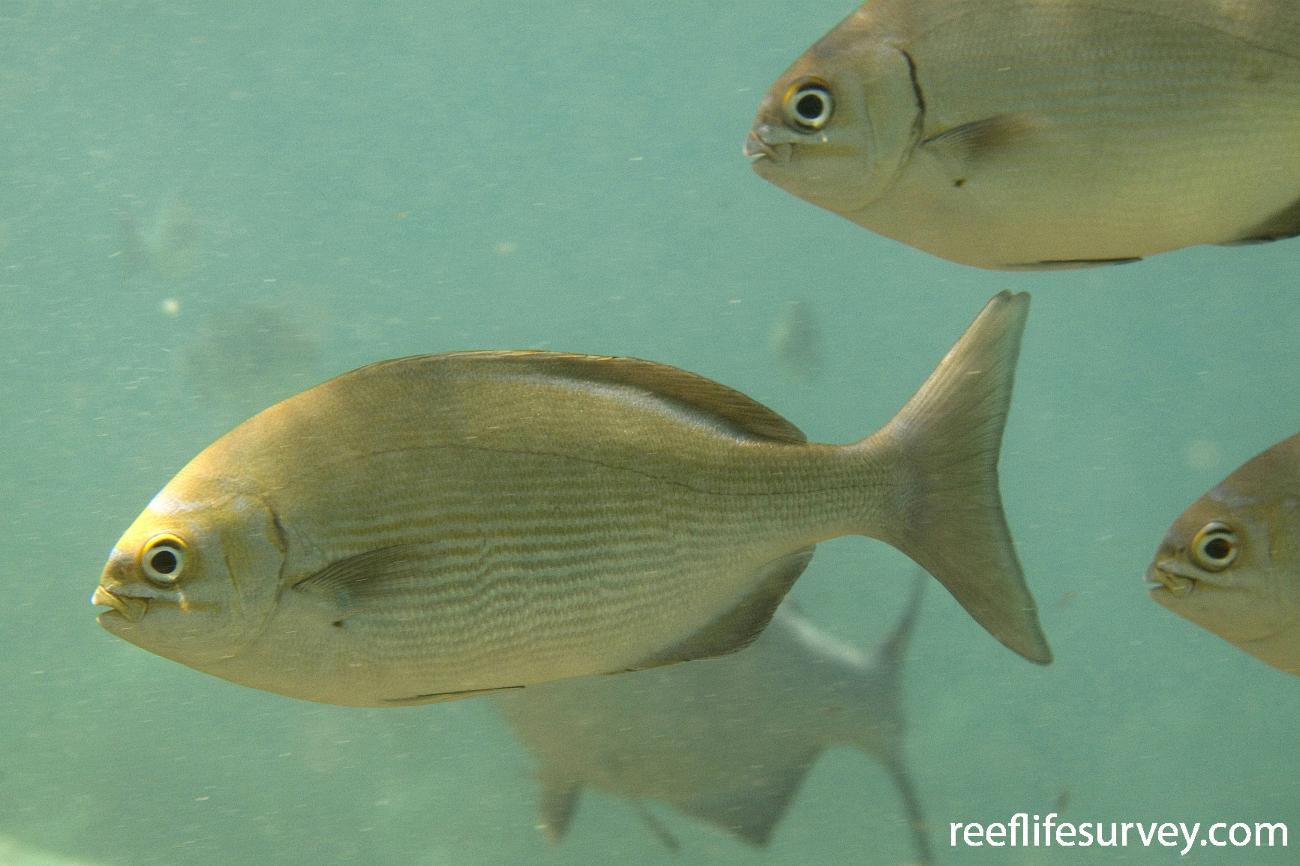 Kyphosus vaigiensis, Lord Howe Is, NSW,  Photo: Andrew Green
