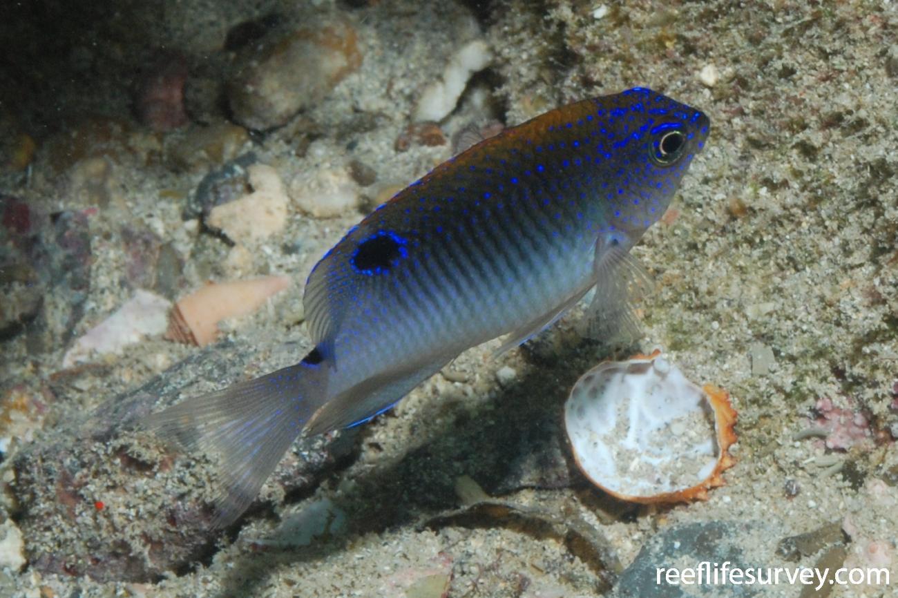 Stegastes fuscus, Juvenile, Abrolhos Islands, Brazil,  Photo: Graham Edgar