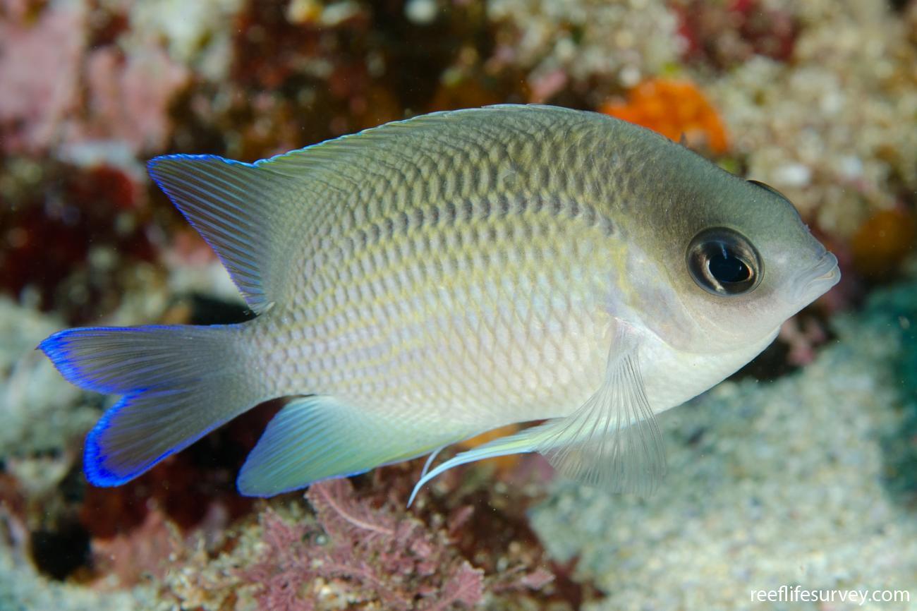Mecaenichthys immaculatus, Adult, Coffs Harbour, NSW,  Photo: Ian Shaw