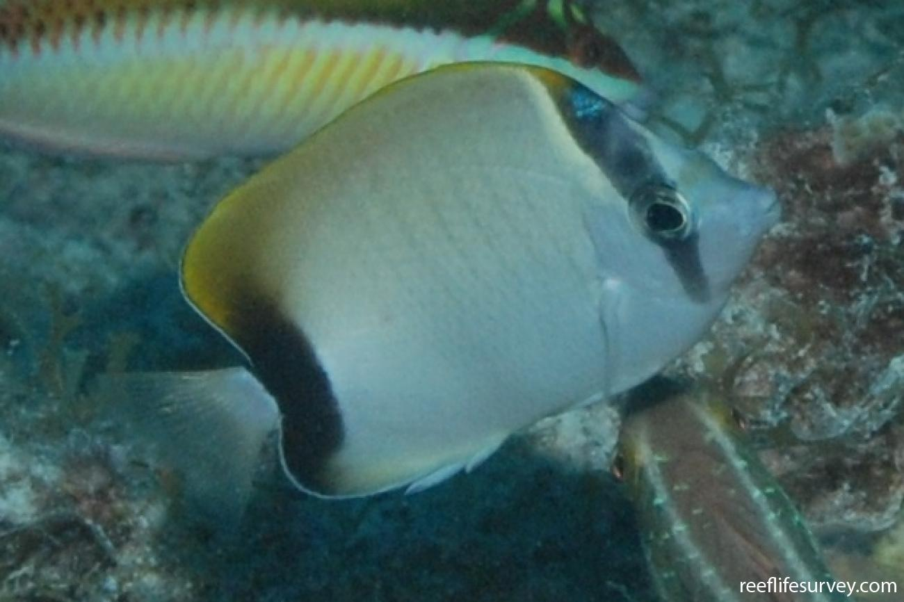 Chaetodon sedentarius, Florida Keys, USA,  Photo: Graham Edgar