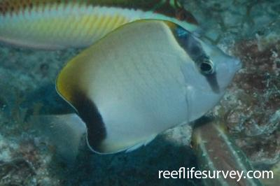 Chaetodon sedentarius: Florida Keys, USA,  Photo: Graham Edgar