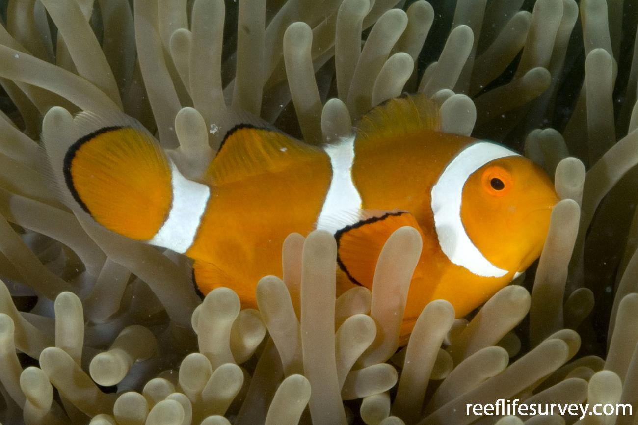 Amphiprion percula, Burke Is, Torres Strait,  Photo: Andrew Green