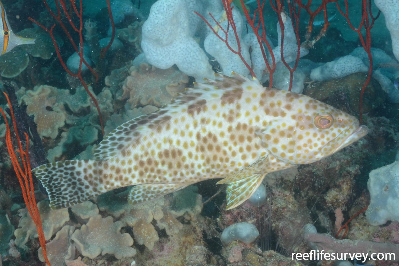 Epinephelus areolatus, Gulf of Carpentaria, Australia,  Photo: Graham Edgar