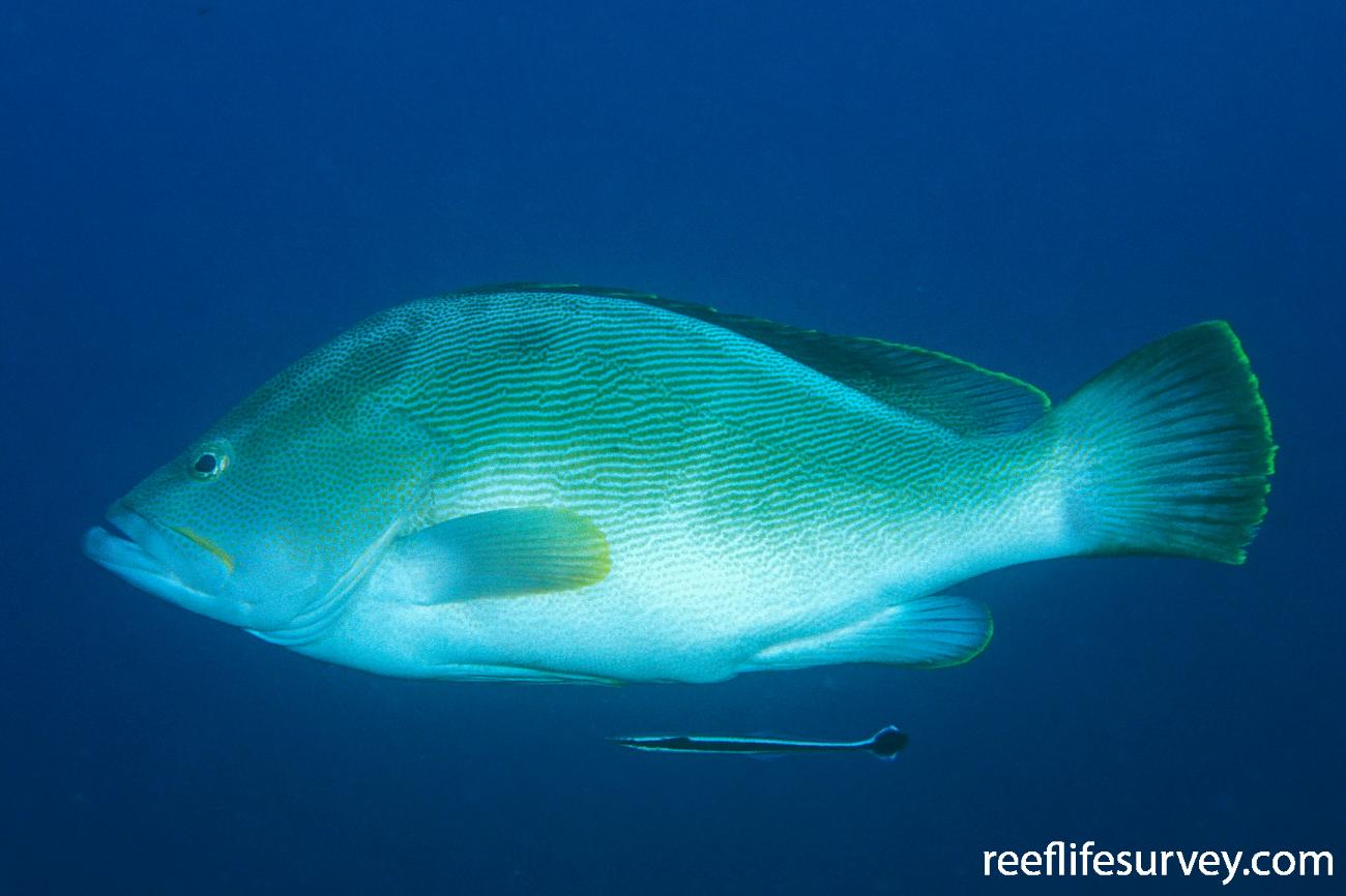 Epinephelus undulatostriatus, Adult, NSW, Australia,  Photo: Ian Shaw