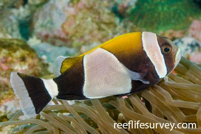 Amphiprion latezonatus: Adult, NSW, Australia,  Photo: Ian Shaw