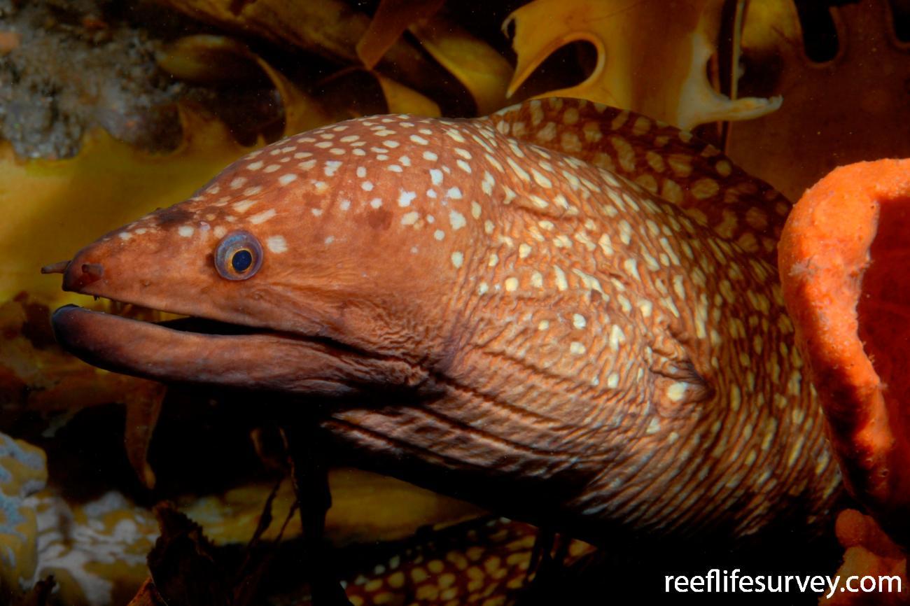 Gymnothorax prionodon, Port Stephens, NSW,  Photo: Tom Davis