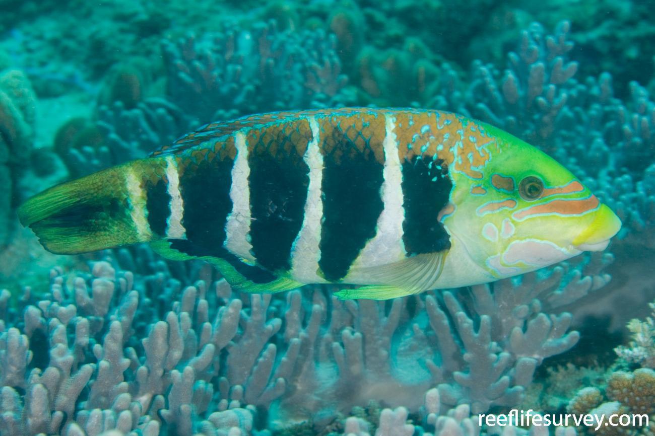 Hemigymnus fasciatus, Adult, North WA, Australia,  Photo: Andrew Green