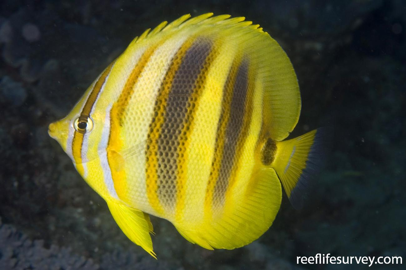 Chaetodon rainfordi, Brisbane, Qld,  Photo: Andrew Green