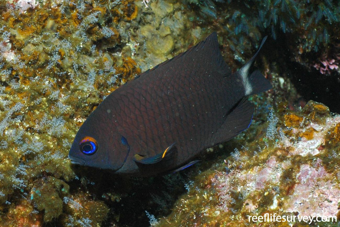 Stegastes beebei, Adult, Galapagos Islands, Ecuador,  Photo: Graham Edgar
